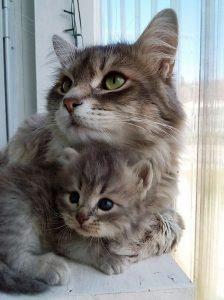 Siberian Kittens Vermont