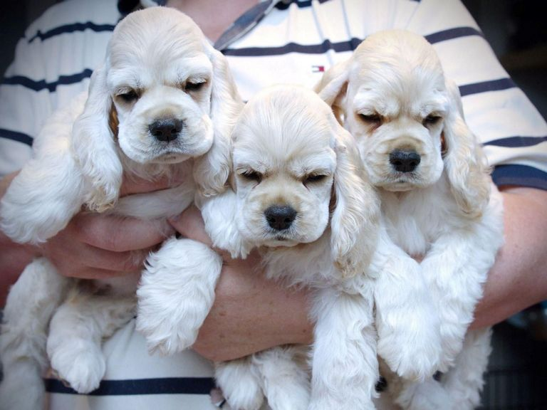 Silver Cocker Spaniel Puppies For Sale