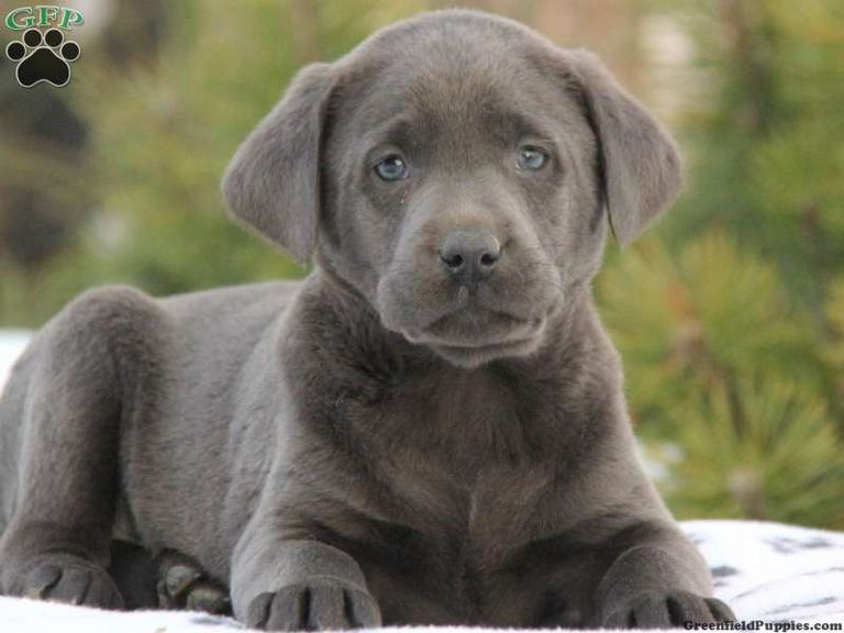 Silver Lab Puppies For Sale In Wv