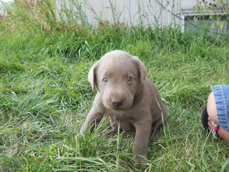 Silver Labs For Sale Under $500