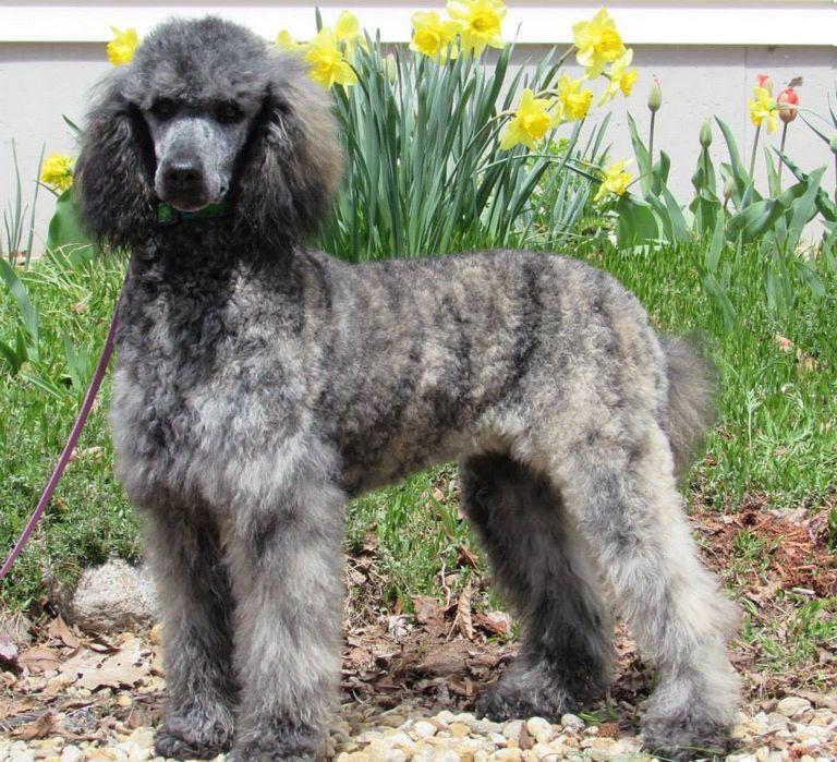 Silver Moyen Poodle