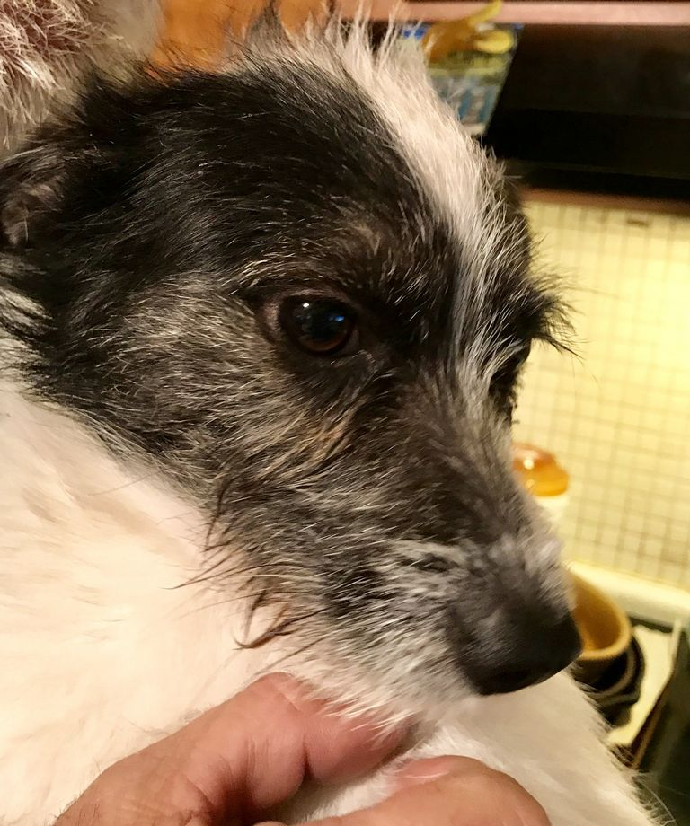 Small Dog Rescue St Louis