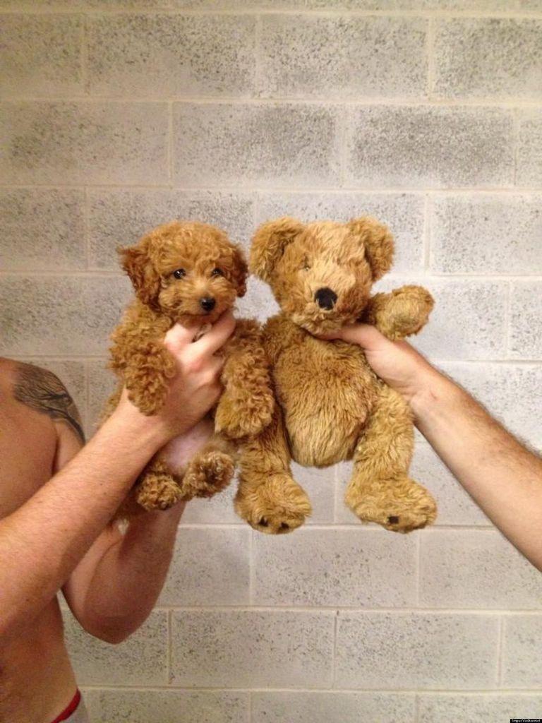Small Dog That Looks Like A Teddy Bear