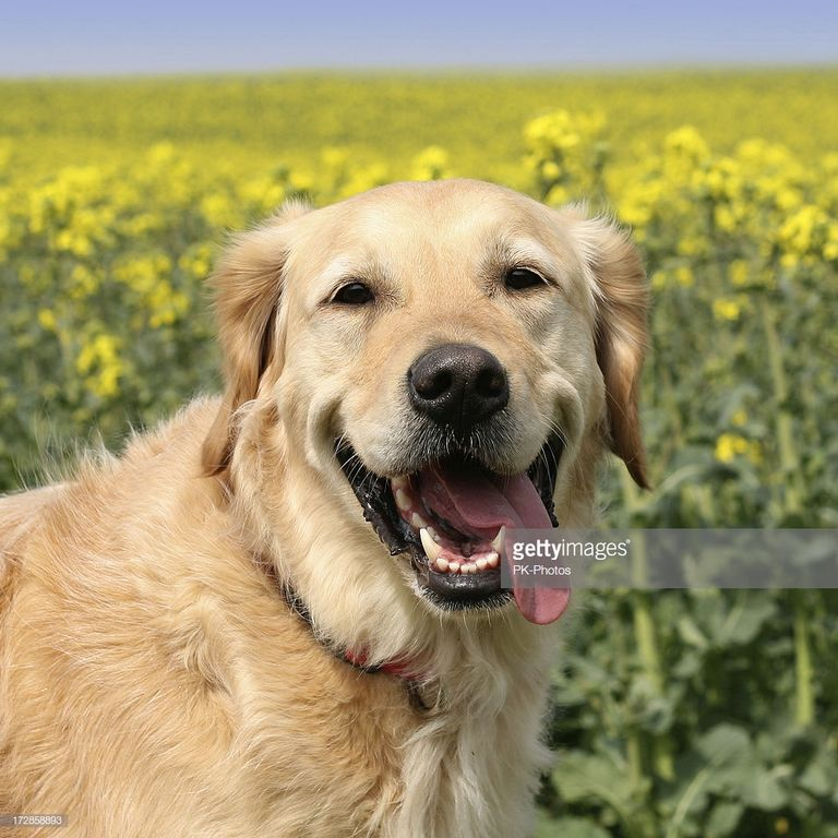 Smiling Golden Retriever