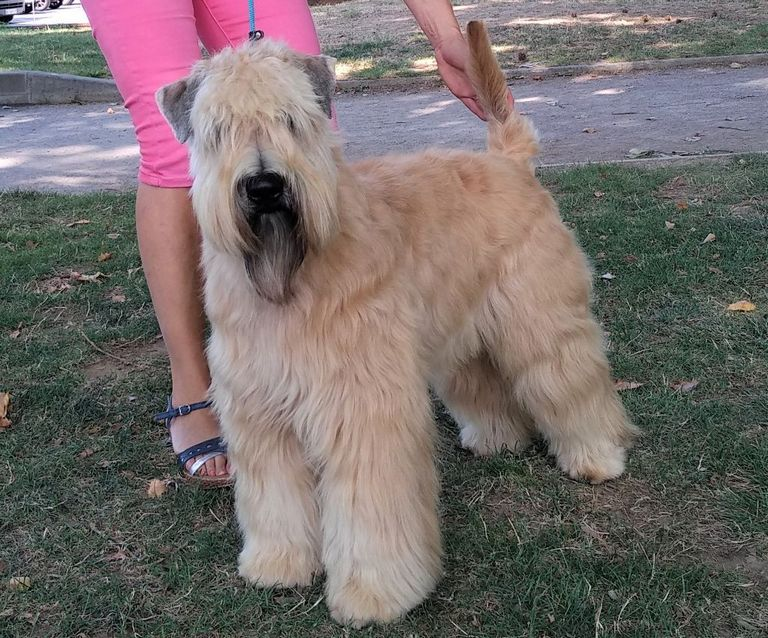 Soft Coated Wheaten Terrier Breeders Florida