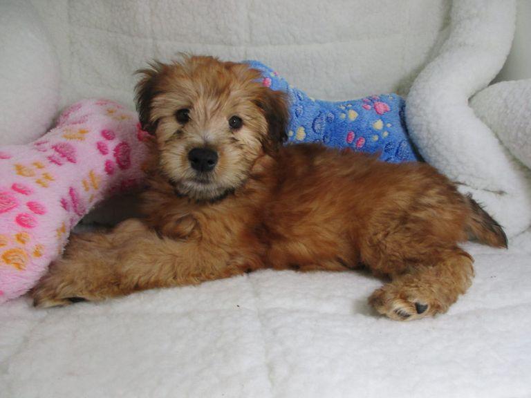 Soft Coated Wheaten Terrier Breeders Nj