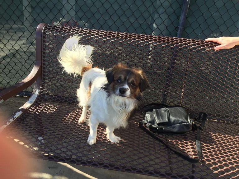 Spaniel Mix Puppies For Adoption