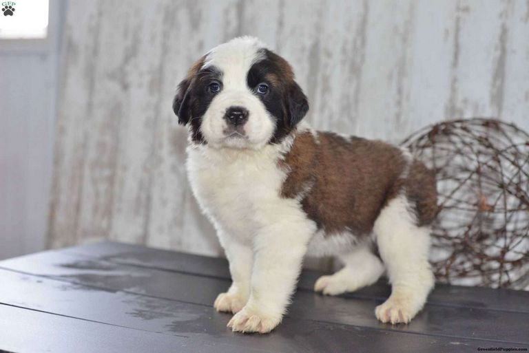 St Bernard Puppies For Sale In Ohio Cheap