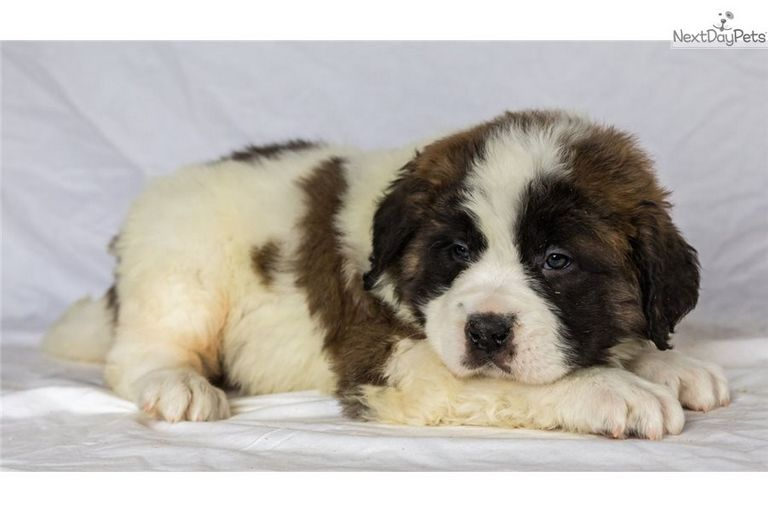 St Bernard Puppies For Sale Near Youngstown Ohio