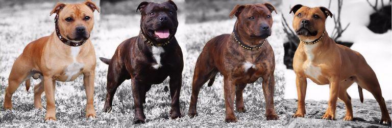 Staffordshire Bull Terrier Breeders Nc