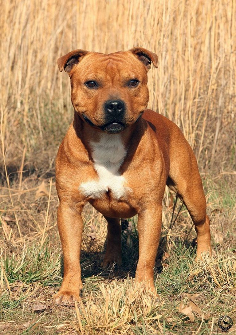 Staffordshire Bull Terrier Breeders Virginia