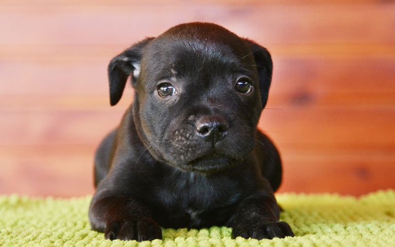 Staffordshire Bull Terrier Puppies For Sale In Mn