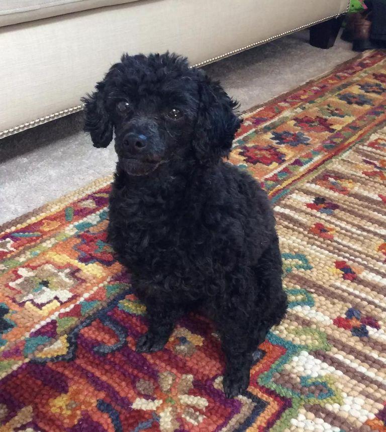 Standard Poodle Adoption