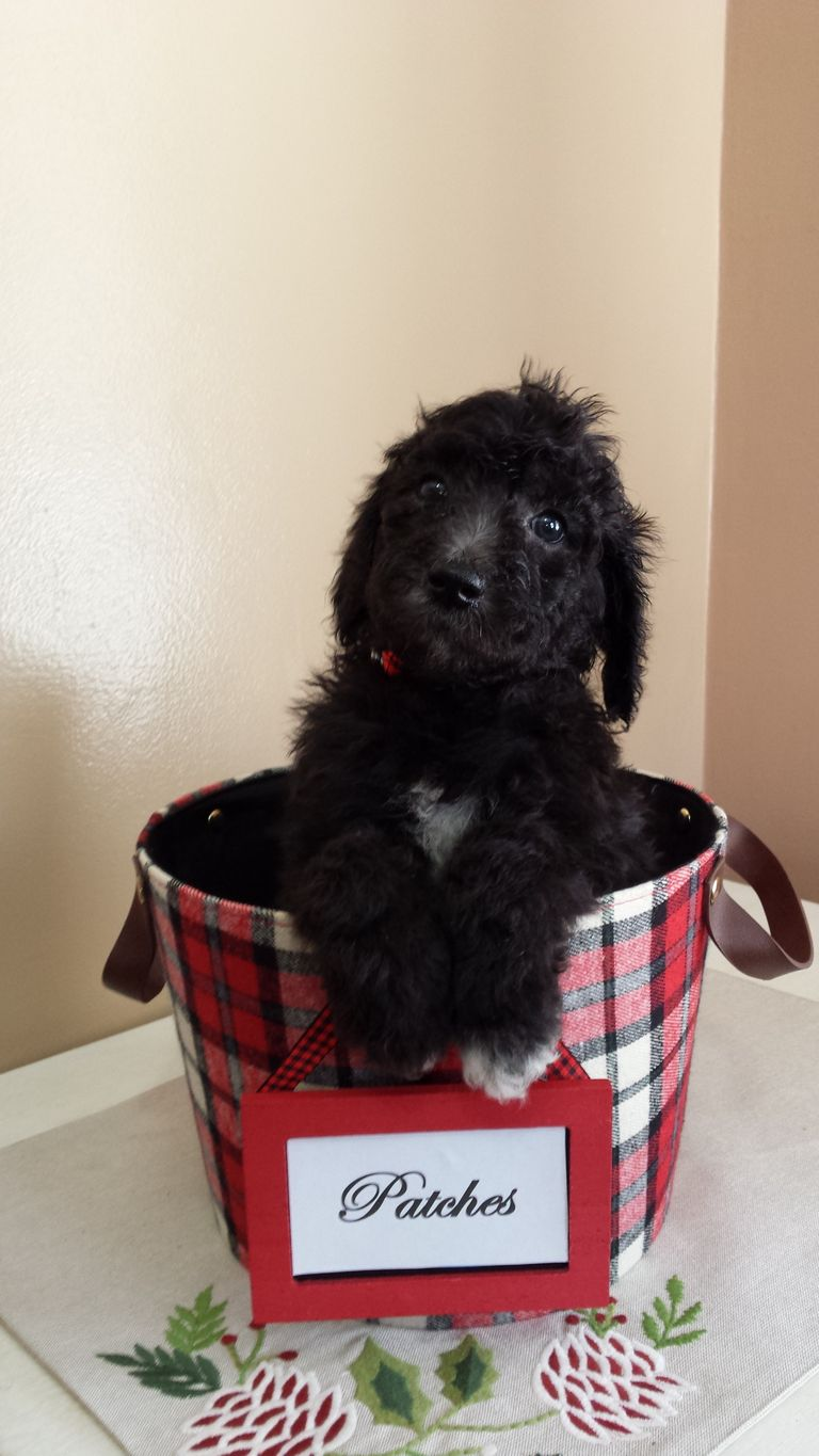 Standard Poodle Puppies Indiana