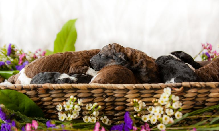 Standard Poodle Puppies Mn