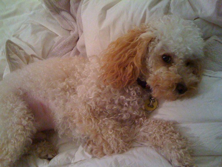 Standard Poodle Rescue California