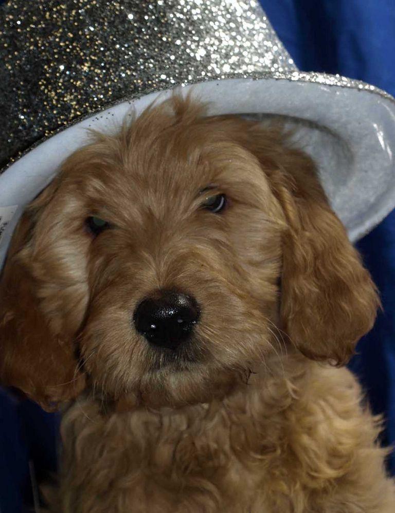 Standard Poodle Rescue Cincinnati
