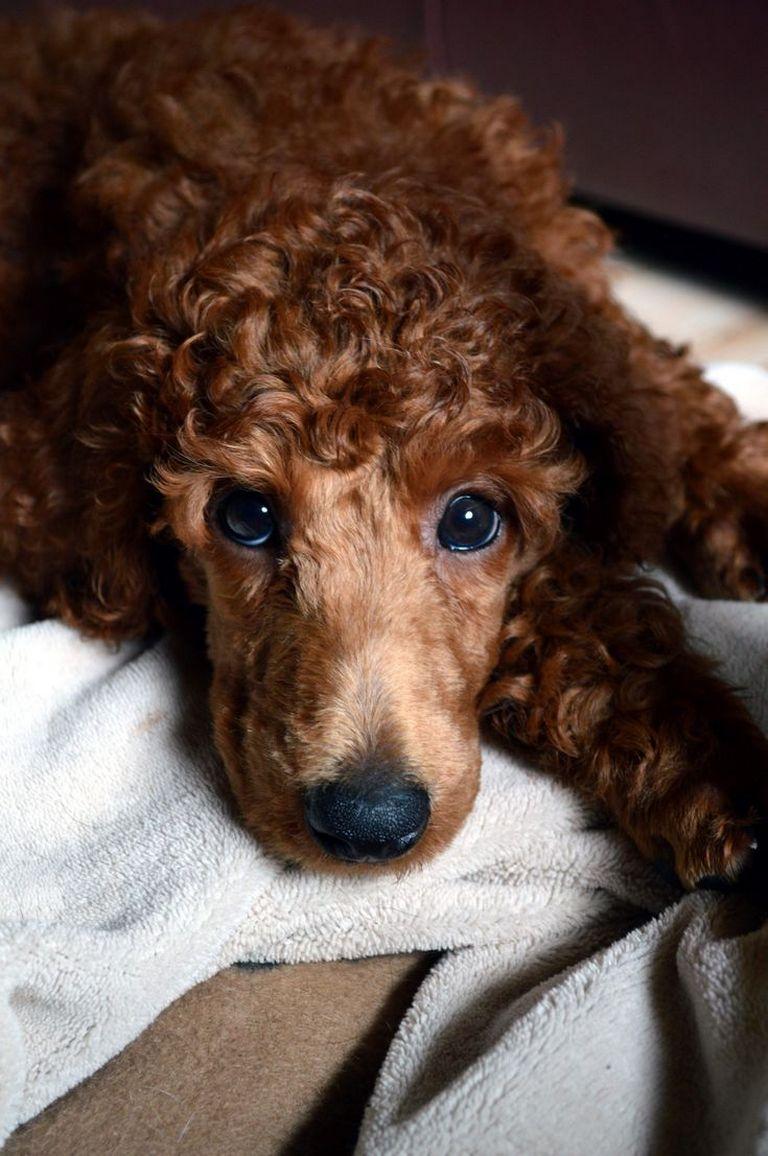 Standard Poodles For Sale In Mississippi
