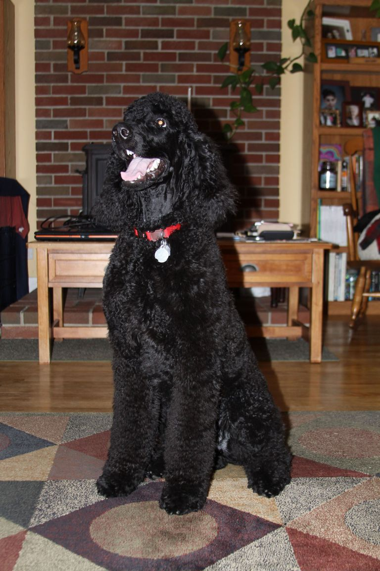 Standard Poodles For Sale In Nc