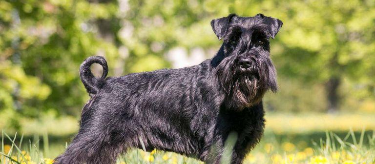 Standard Schnauzer Puppies For Sale In Missouri