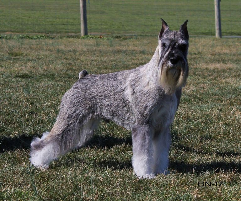 Standard Schnauzer Puppies For Sale In Nc   Top Dog ...