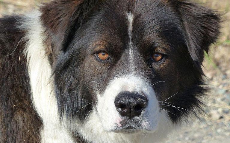 Stye On Dog's Eyelid Treatment