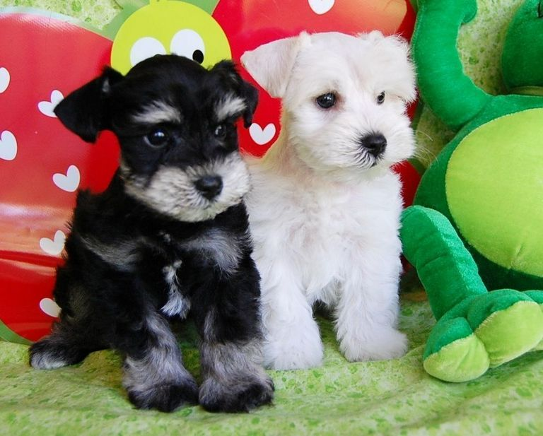 Teacup Cocker Spaniel Puppies For Sale In Texas