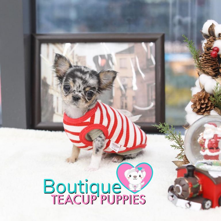 Teacup French Bulldog For Sale In Oregon | Top Dog Information