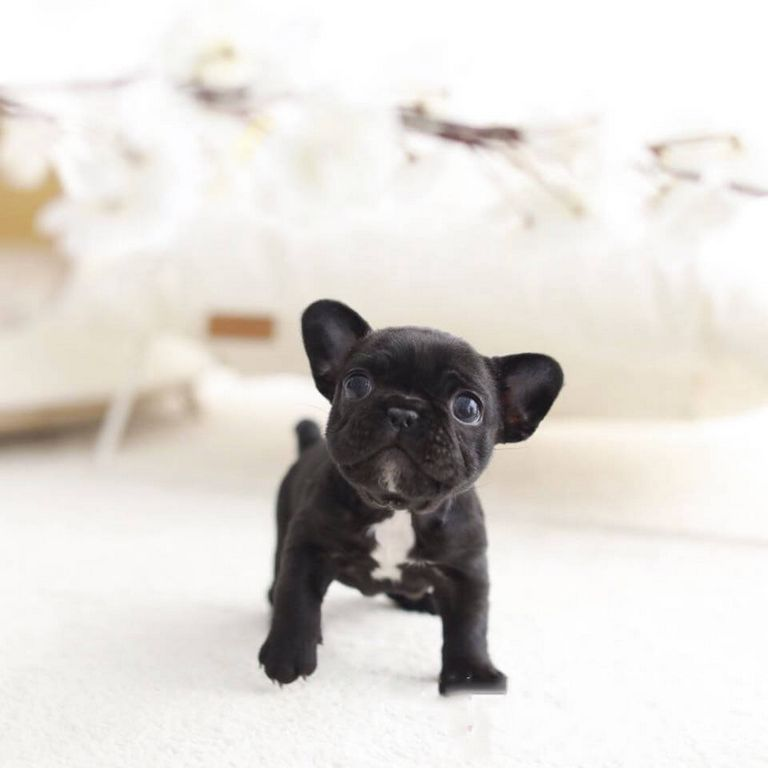 Teacup French Bulldog Info