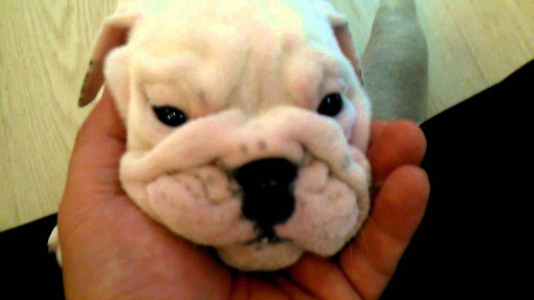 Teacup French Bulldog