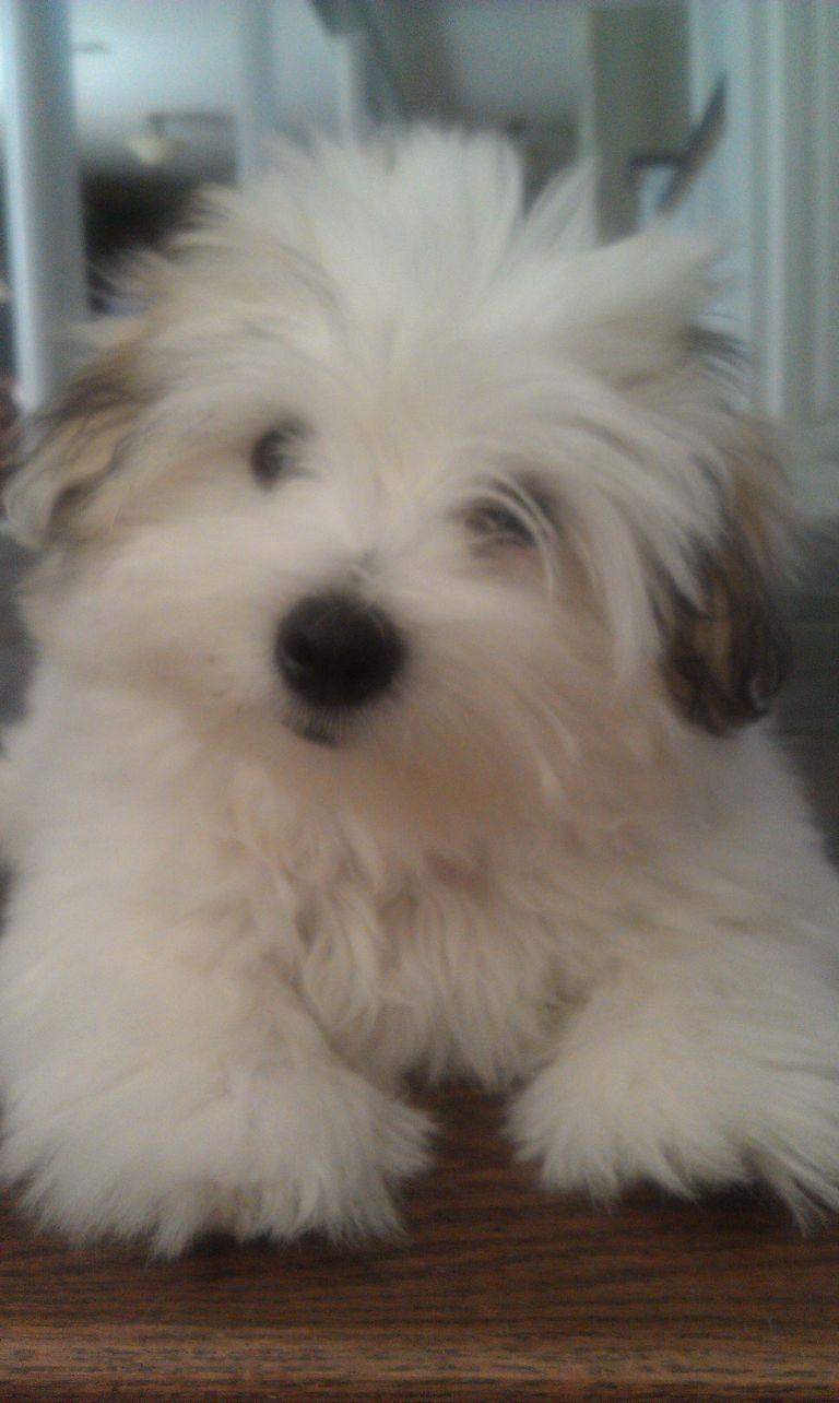 Teacup Havanese Puppies For Sale | Top Dog Information