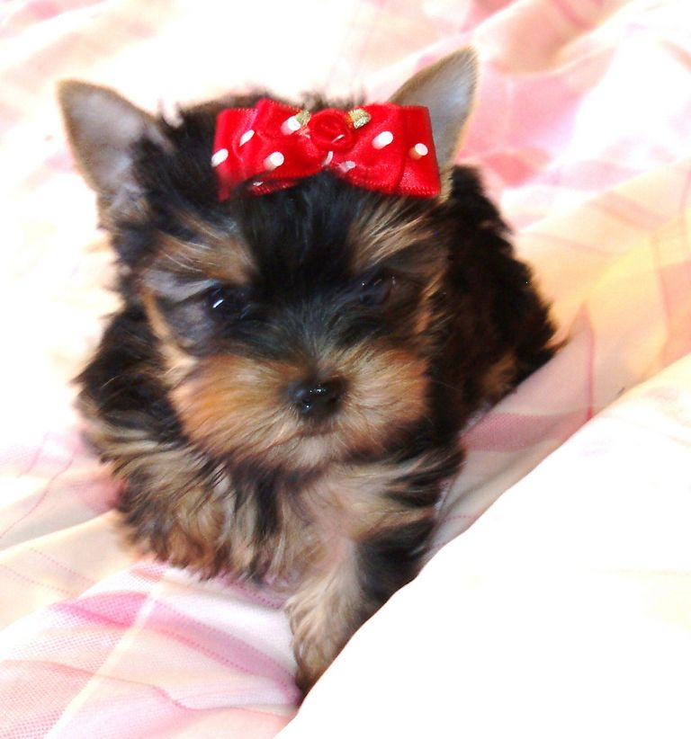 Teacup Maltese Puppies For Sale In Wisconsin