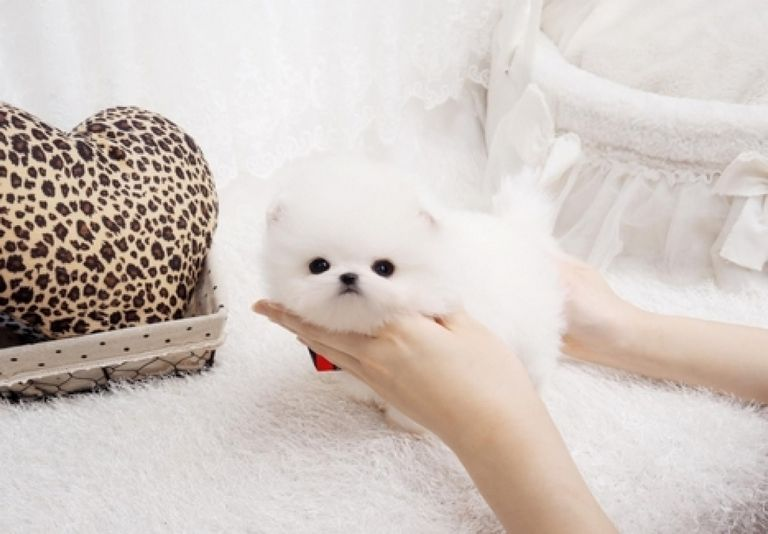 Teacup Pomeranian For Sale In Texas