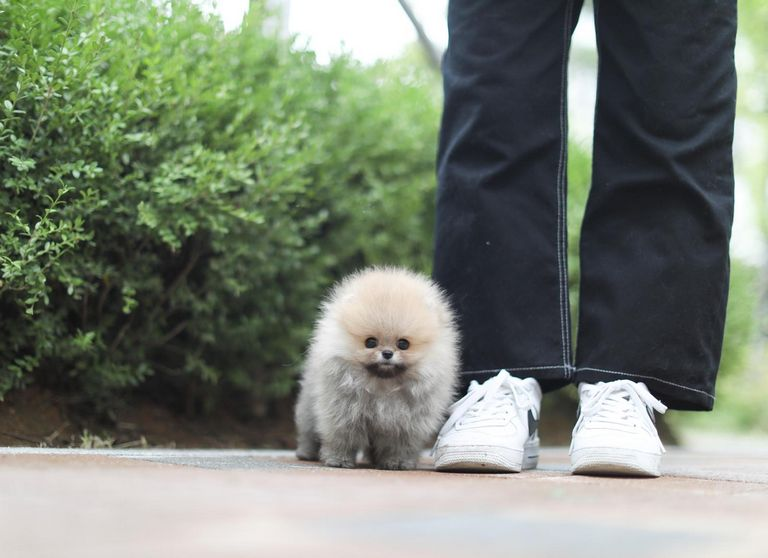 Teacup Pomsky Puppies For Sale Indiana