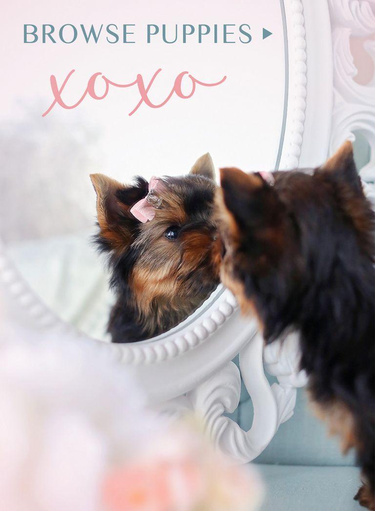 Teacup Poodle For Sale