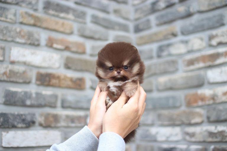 Teacup Shiba Inu Puppies For Sale