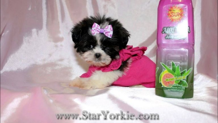 Teacup Yorkie For Sale In Pa