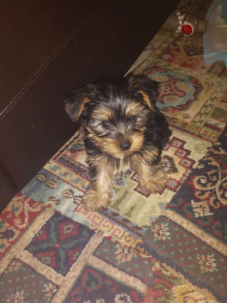 Teacup Yorkies For Sale Under 500