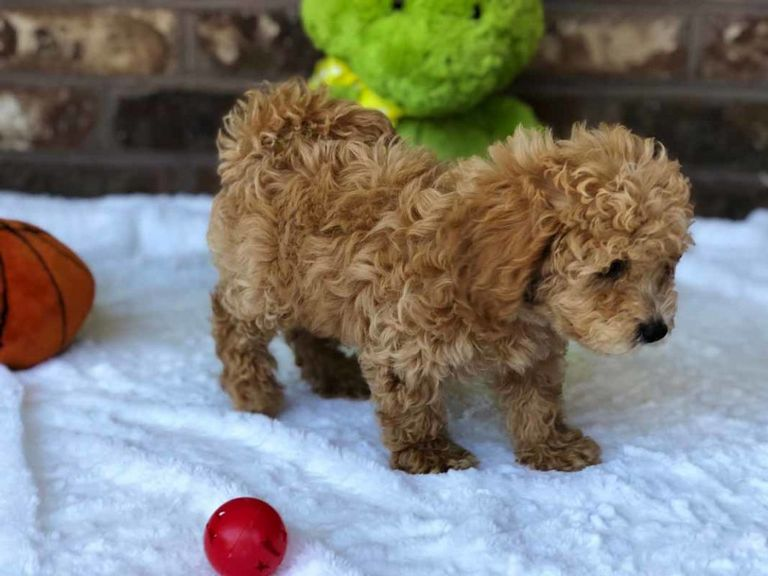 Teddy Bear Puppies For Sale In Illinois