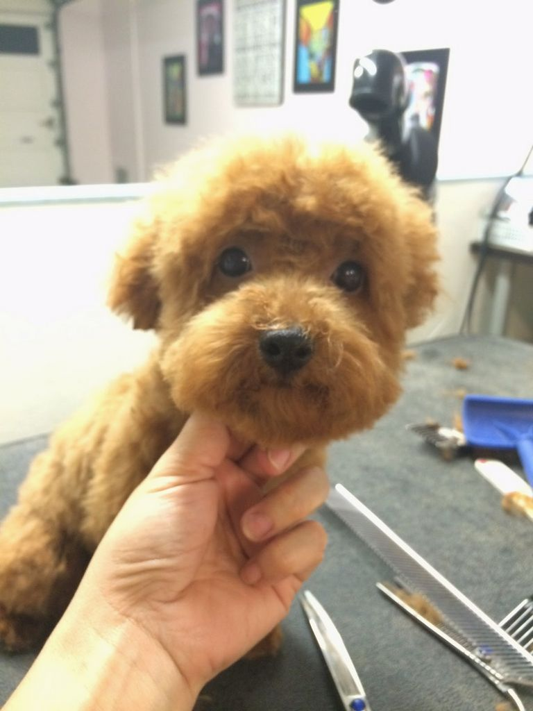 Teddy Bear Puppies For Sale In Pa