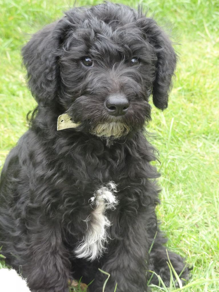 Teddy Bear Puppies For Sale In Va