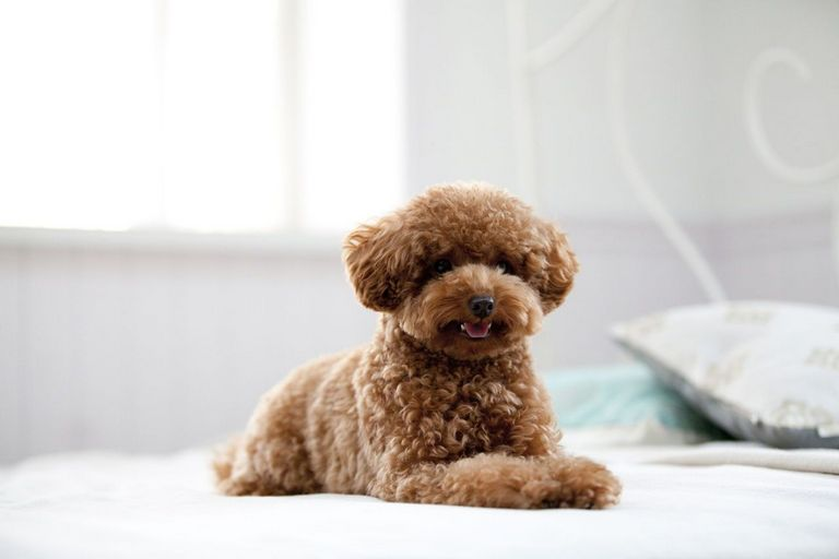 Teddy Bear Puppies For Sale In Wisconsin