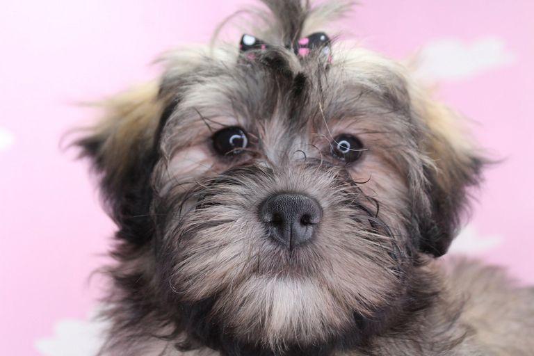 Teddy Bear Puppy Care