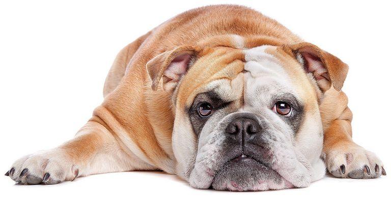 Top English Bulldog Breeders