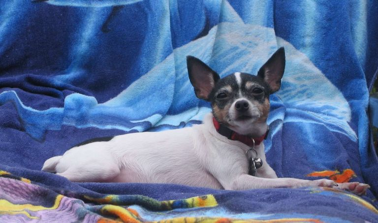 Toy Fox Terrier Puppies For Sale In California