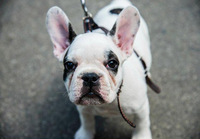 Toy French Bulldog Oregon