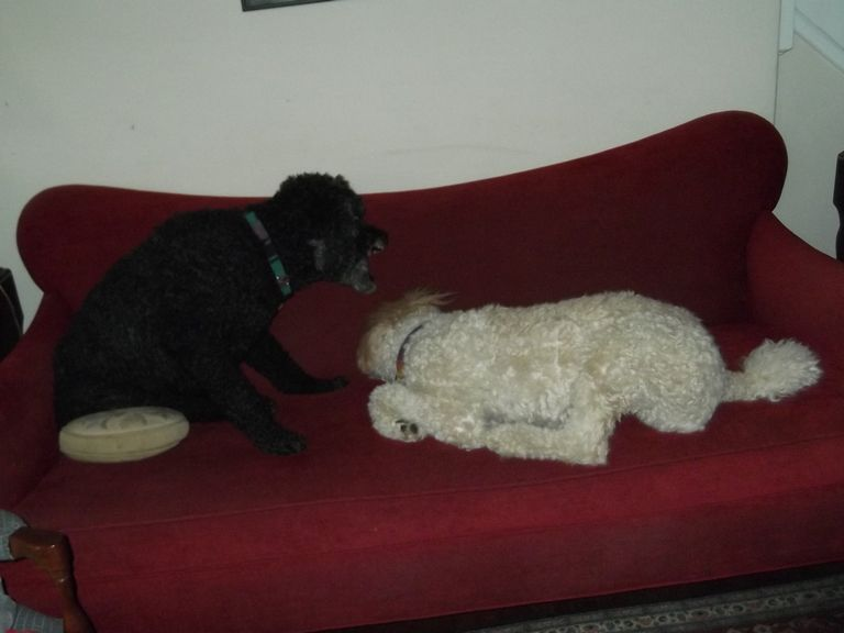 Toy Poodle Rescue Indiana