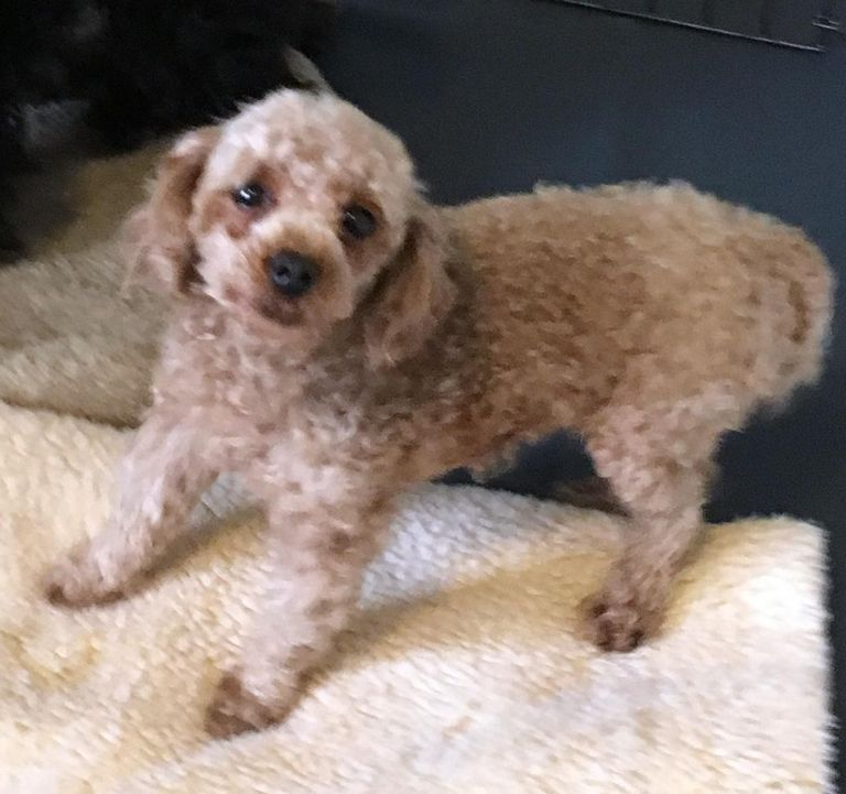 Toy Poodle Rescue Texas