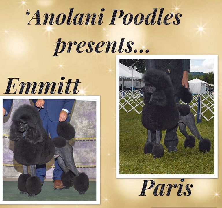 Toy Poodles For Sale In Md