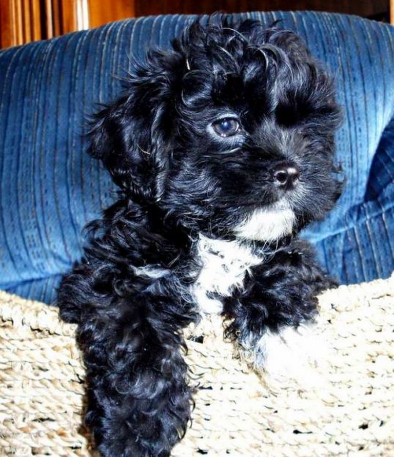 Toy Poodles For Sale In Richmond Ky
